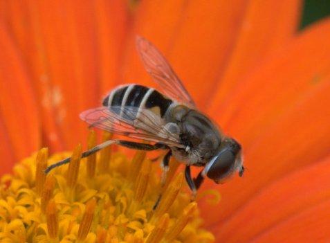 Brown-winged Furrow Bee, Halictus farinosus