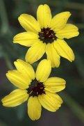 Chocolate Flower (Berlandiera lyrata)