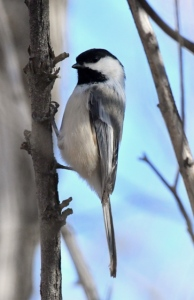 Black-capped Chickadee_FCNC-COS-CO_LAH_1100