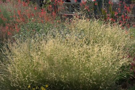 Blue Grama Grass 'Blonde Ambition' (Bouteloua gracilis)