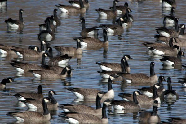 Canada Geese_FCNC-CO_LAH_5450