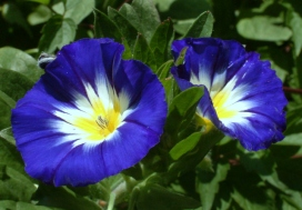 Morning Glory 'Royal Blue Ensign' (Convolvulus tricolor)