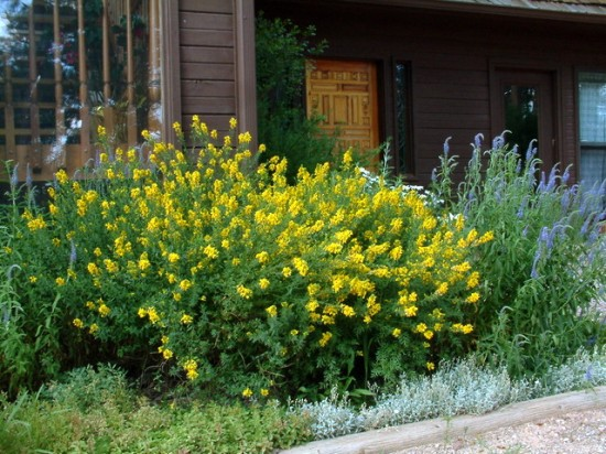 Spanish Gold Hardy Broom (Cytisus pergans)