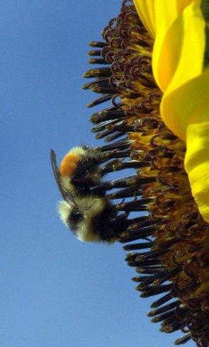 Orange-belted Bumblebee, Bombus ternarius