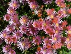 'Mesa Verde' Hardy Ice Plant (Delosperma 'Kelaidis')