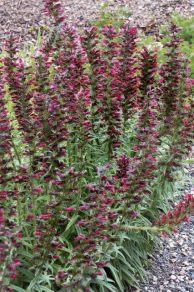 Red Feathers (Echium amoenum)