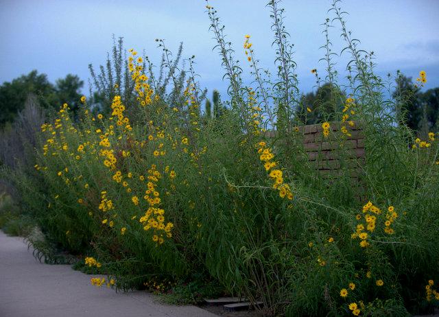 Helianthus maximiliani - Maximilian sunflower_DBG_20090915_LAH_0621