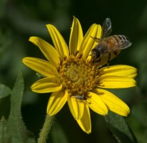 Helianthus pumilus_Dwarf Sunflower_DBG_LAH_1625