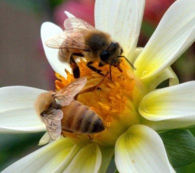 Honeybees on dahlia