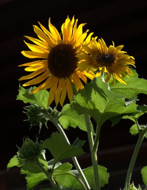 Sunflower_ColoSpgs-CO_LAH_4950