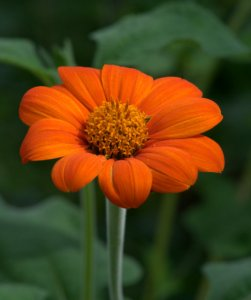 Tithonia_Mexican Sunflower_DBG_LAH_7143-001
