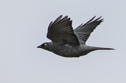 Barred Cuckoo-Shrike?