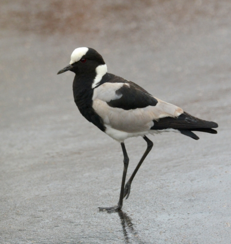 Blacksmith Lapwing/Plover