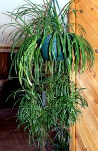 Chlorophytum comosum_Spider Plant_home 28mar2006 LAH 123r