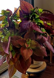 Coleus houseplant_COS-CO_LAH_1