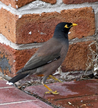 Common Myna, NSW Australia