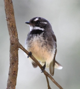 Grey Fantail_SunValley-NSW-Australia_LAH_3238