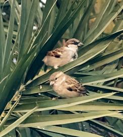House Sparrow_NewDelhi-India_LAH_8198rf