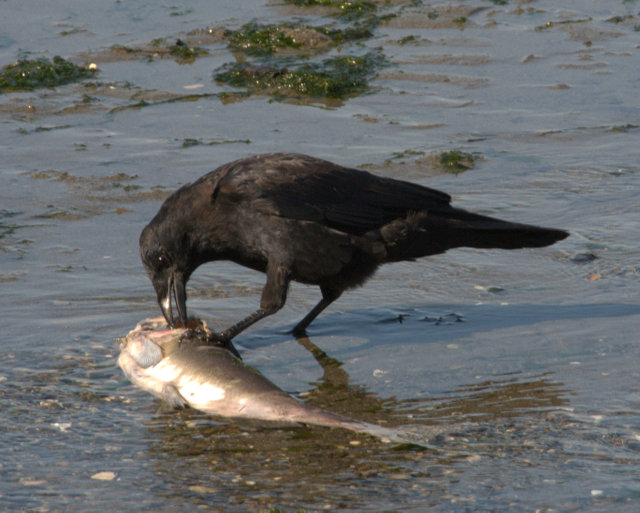 Northwestern Crow with dead fish_FedWayWA_20090920_LAH_0904