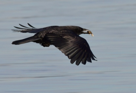 Northwestern Crow_DumasBaySanctuary-WA_LAH_9606