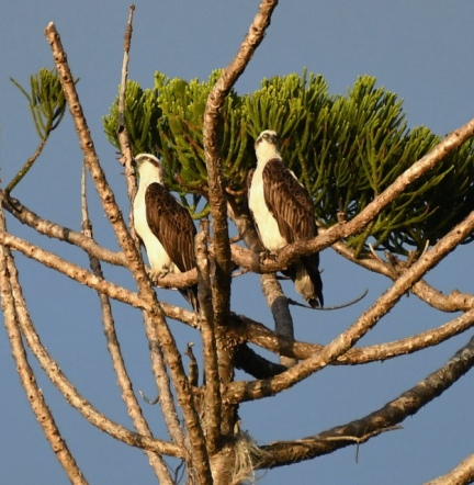 Ospreys, NSW Australia