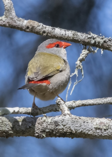 Red-browned Finch/Firetail
