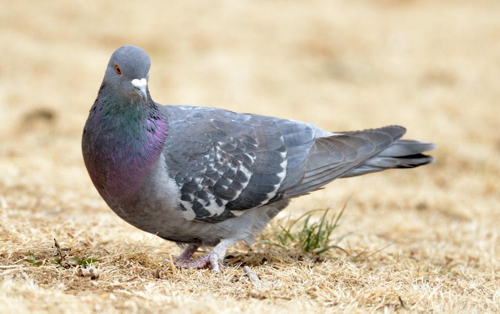 Rock Pigeon_CoSpgs-CO_LAH_0559