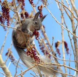 Abert's Squirrel_MancosSP-CO_LAH_2499