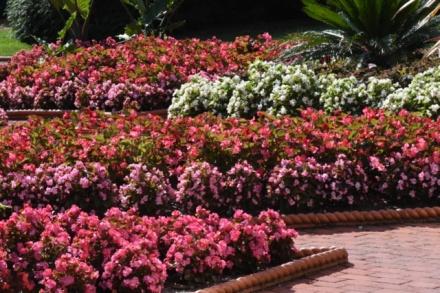 Begonia x semperflorens-cultorum_Wax Begonia_MissouriBotanicalGardens-St.Louis-MO_LAH_3070