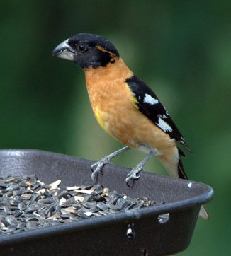 Black-headed Grosbeak, 5MR bird