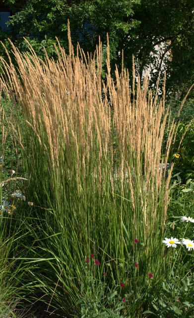 Karl Foerster Feather Reed Grass (Calamagrostis acutiflora)
