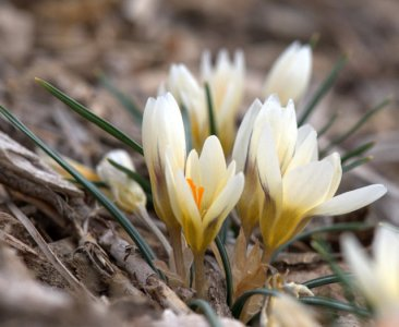 Crocus chrysanthus 'Cream Beauty'
