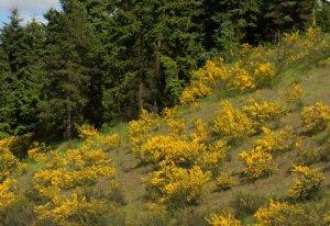 Cytisus scoparius_Scotch Broom_invasive_Tacoma-WA_LAH_0848