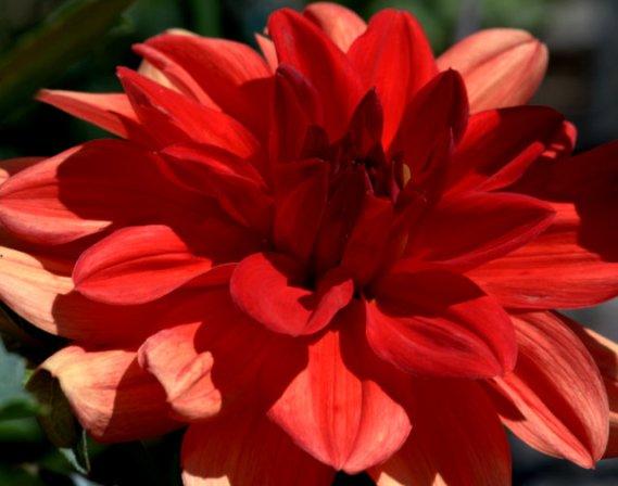 Dahlia 'Patricia Anns Sunset'_HudsonGardens-LittletonCO_LAH_0518