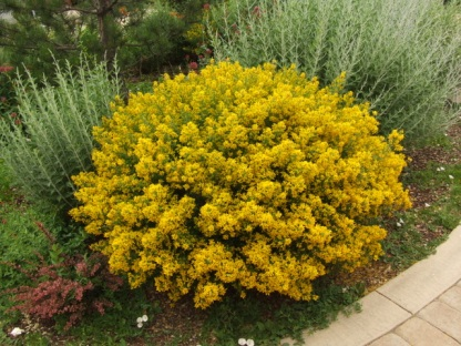 Genista lydia - Hardy Dwarf Broom @SantaFeGreenhouses 2008jun28 LAH 117
