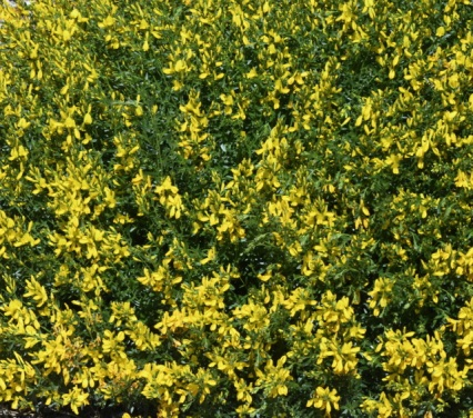 Dyer's Broom 'Golden Template' (Genista tinctoria)