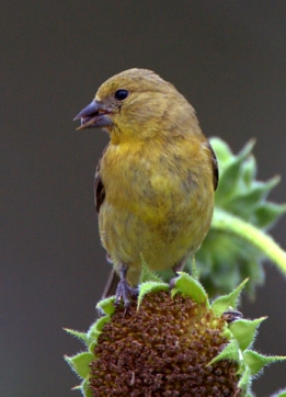 Lesser Goldfinch, 5MR bird