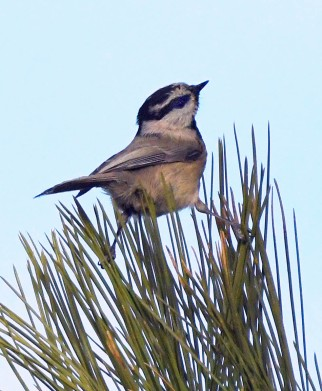 Mountain Chickadee, 5MR bird
