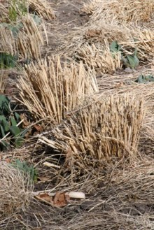 Ornamental Grass pruned_DBG-CO_LAH_5861