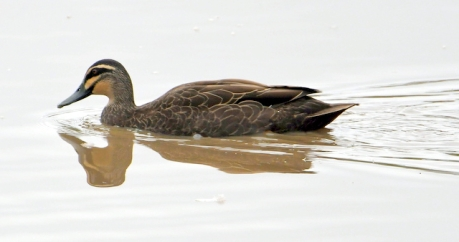 Pacific Black Duck, QLD Australia