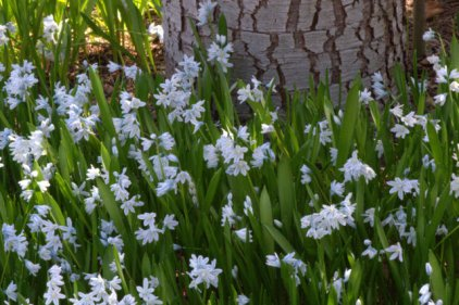 Puschkinia scilloides_Striped Squill_DBG_LAH_7150