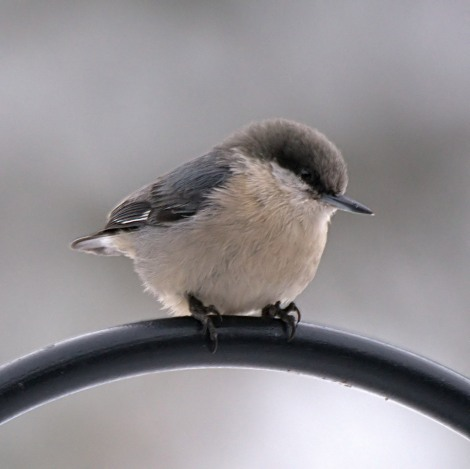 Pygmy Nuthatch, 5MR bird