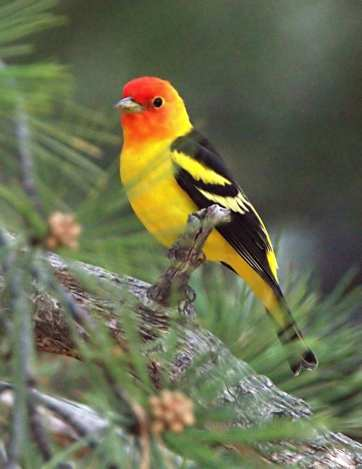 Western Tanager, 5MR bird