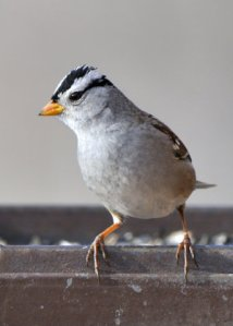 White-crowned Sparrow_FCNC-CO_LAH_2898