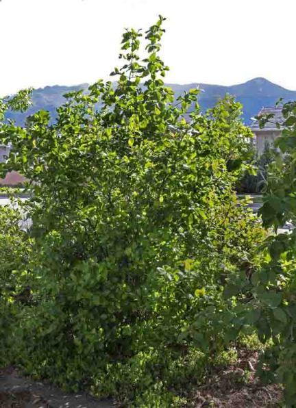 Black Chokeberry, Aronia melanocarpa