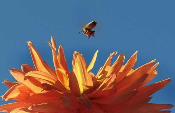 Bee over Dahlia 'Tropic Sun'_HudsonGardens-LittletonCO_LAH_9312f
