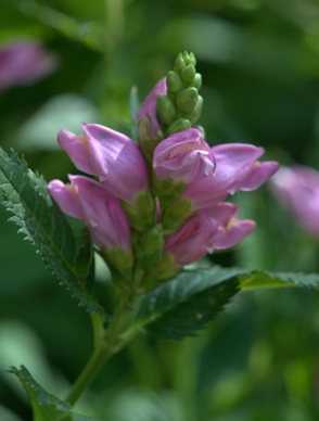 Turtlehead, Chelone oblique