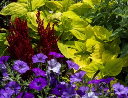 Red celosia, purple petunias contrast with golden coleus leaves