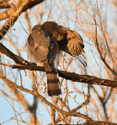 Female Cooper's Hawk, preening