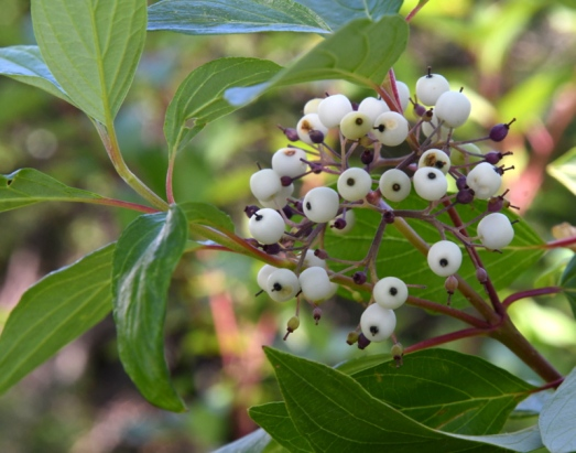 Red Osier Dogwood, Cornus sericea